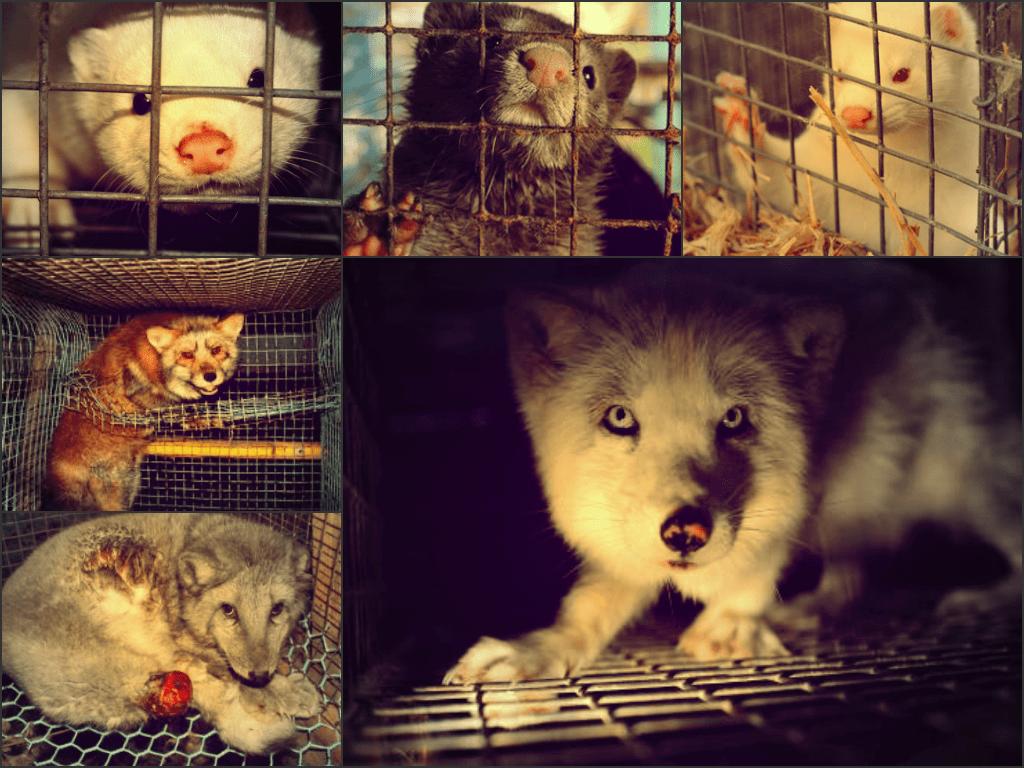 fur-cruelty