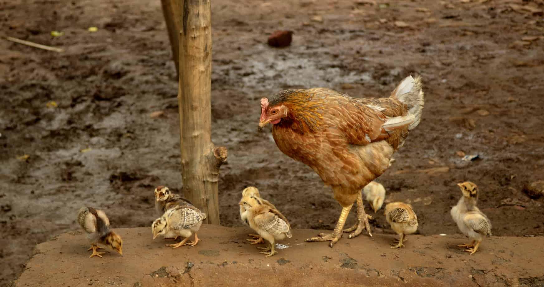 Какво се случва с кокошките носачки