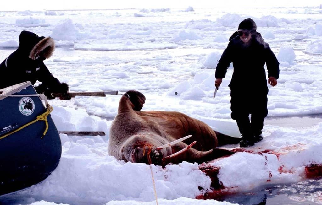 eskimos-hunting-walrus