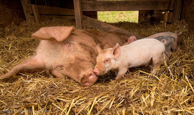 mother-and-baby-pigs