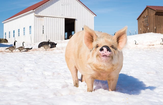 pig-in-the-snow