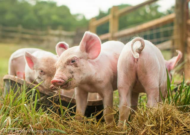 pigs-animal-sanctuary