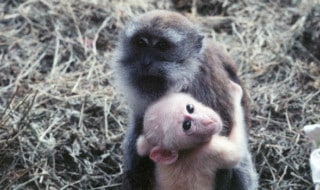 britches-monkey-adopted
