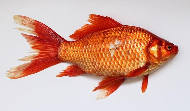 Здравословна храна ли е рибата?