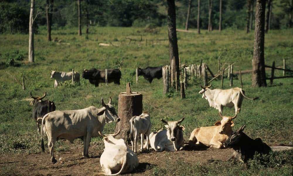 deforestation-cattle
